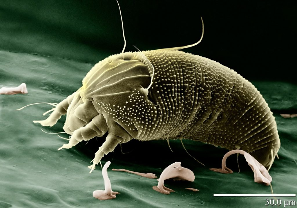 dust mite carpet allergy